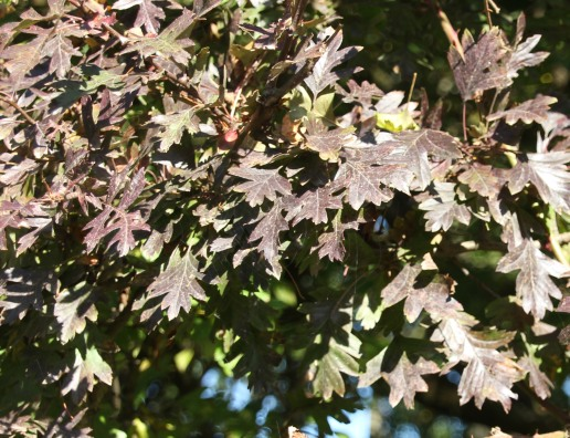 Hawthorns (Crataegus monogyna)