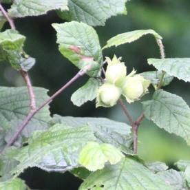 Hazel (Corylus avellana)