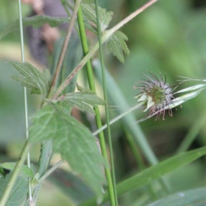 Herb Bennet seed-heads (Geum urbanum)