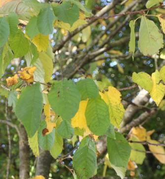 Hornbeam (Common) Carpinus betula