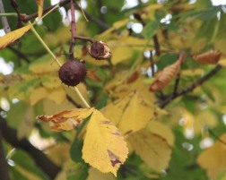 Horse Chestnut (Aesculus hippocastanum) with conkers