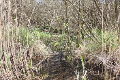 irises in the bog