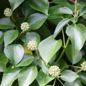 Ivy (Hedera helix_)