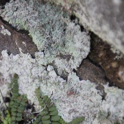 Lepraria-lobificans (Lepraria-lobificans)