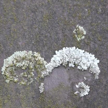 Lecanoraceae Lichen