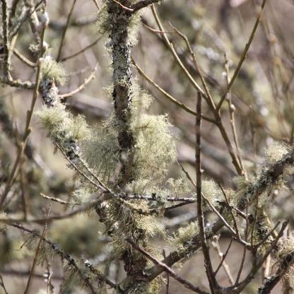 Lichen (Usnea subfloridana)