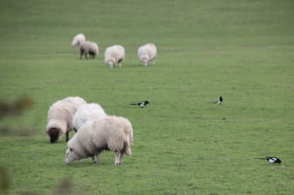 Magpies sheep