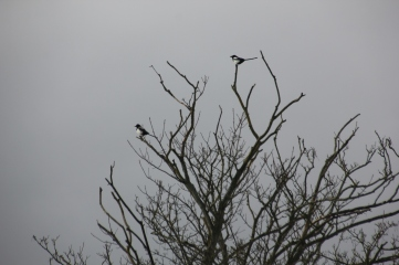 Magpies tree