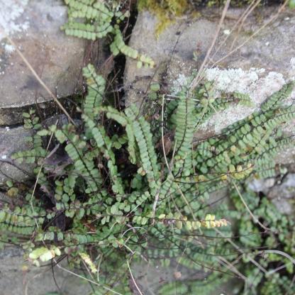 Maidenhair Spleenwort (Asplenium trichomas)