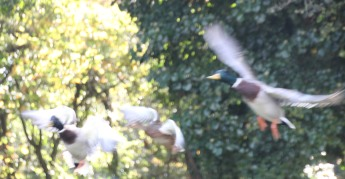 Mallards take flight