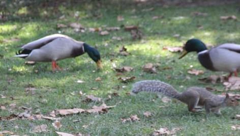 Mallards and Squirres