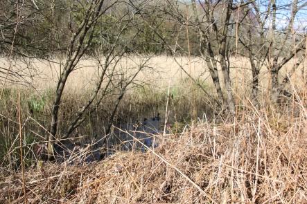 Mallards in the reeds