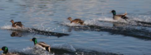 Mallards land with a splash