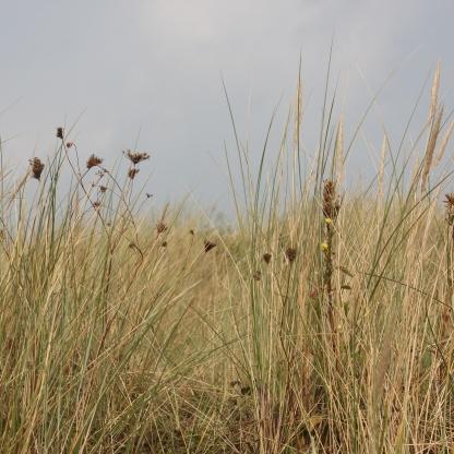 Marram-grass (Ammophila arenaria) and Sea-club Rush (Bolboschoenus maritimus)