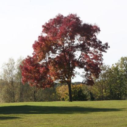 narrow leaved ash tree
