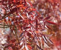 Narrow-leaved Ash tree (Fraxinus angustifolia)