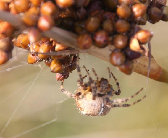Orb Web Spider (Araneus diadematus )