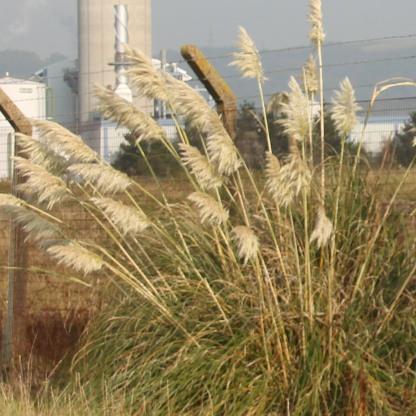 Pampas-grass (Cortaderia selloana)