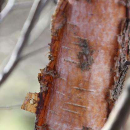 Copper Birch bark (Betula niger)