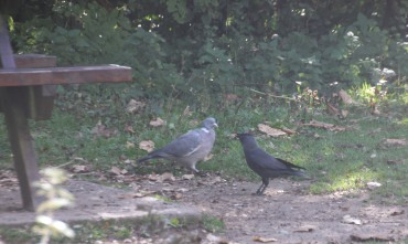 Pigeons and Jackdaws