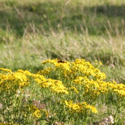 Common Ragwort with Tortoiseshell butterfly