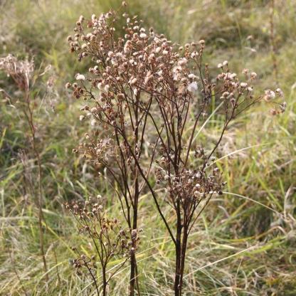 Common Ragwort in seed (Senecio jacobaea)