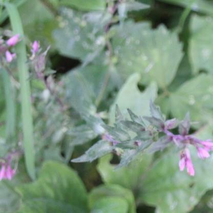 Red Bartsia (Odontites verna)