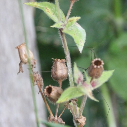 Red Campion seed-heads (Silene dioica)