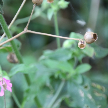 Red Campion seed-head (Silene dioica)