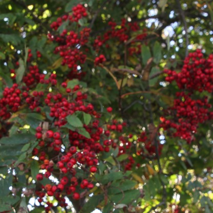 Rowan berries (Sorbus aucuparia)