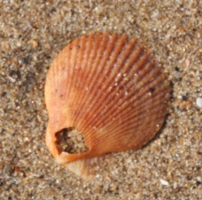 Variegated Scallop (Chlamys varia)