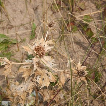 Sea Holly seedhead (Eryngium maritimum)