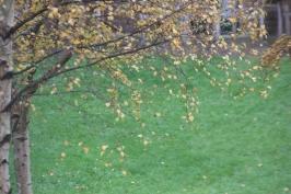 Silver Birch (Betula pendula) golden coins