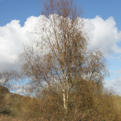 Silver Birch (Betula pendula)