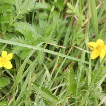 Silverweed (Potentilla anserine)