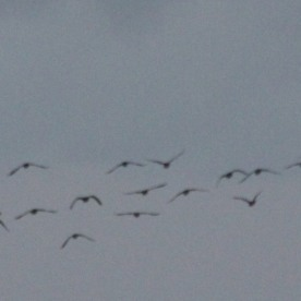 Skein of Canada Geese