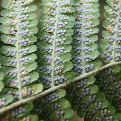 Male Fern sori (Dryopteris felix-mas)