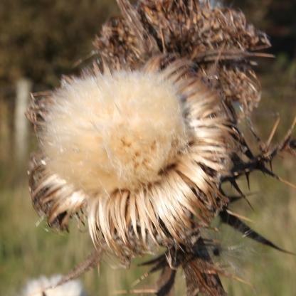 Spear Thistle seed-head (Cirsium palustre)