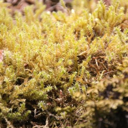 Springy Turf-moss (Rhytidiadelphus squarrosus)