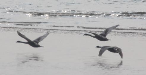 Mute Swans in flight (Cygnus olor)