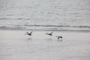 Swans skimming