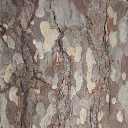 Sycamore bark (Acer pseudoplatanus)