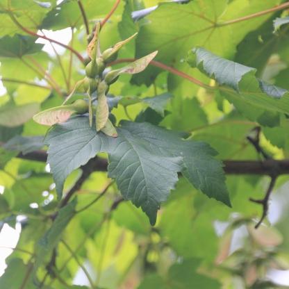 Sycamore fruit (Acer pseudoplatanus)