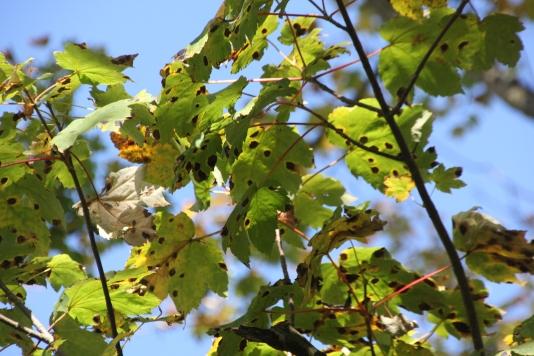 Sycamore (Acer pseudoplatanus) with Tar Spot fungus (Rhytisma acerinum)