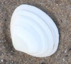 White Baltic Tellin (Macoma balthica)