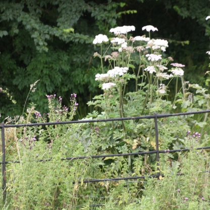 Giant Hogweed and Thistles