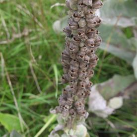 Great Mullein (Verbascum thapsus)