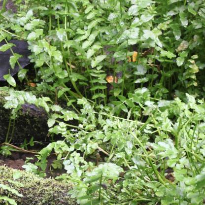 Water-cress (Ririppa nasturtium-aquaticum)