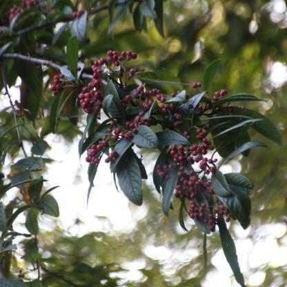 Wayfaring tree berries (Viburnum lantana)