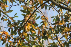 Wayfaring tree (Viburnum lantana)